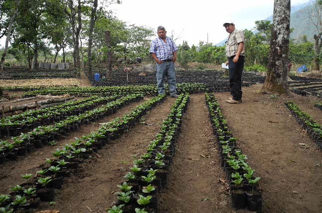 Like most coffee-growing regions in Guatemala, CCDA farmers are working hard to renovate their fields in the aftermath of the Latin America Leaf Rust crisis.