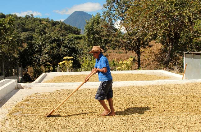 Coffee is spread out on concrete patios to dry slowly and evenly under the temperate sun of the Guatemalan highlands.
