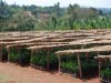SCFCU cooperatives maintain local tree nurseries, to support their members in their on-going field renovation plantings.