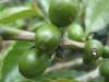 But despite recent challenges, award-winning quality has been a consistent trademark of Fondo Paez coffee.