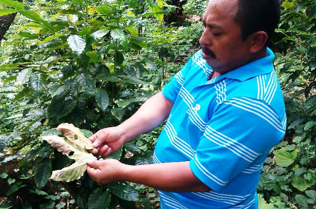 Las Marias 93 President Porfirio Ortiz shows the extent of the damage caused by the leaf rust fungus in the fields of many of their members.
