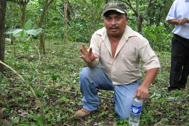 """Porfirio Ortiz explains """"el agobio"""" – bending the young tree trunks to encourage multiple vertical sproats - for higher yields and production recovery."""