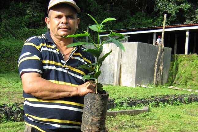 Organic promoter Felipe Dominguez shows one of the proposed 40,000 new coffee saplings to transplant in the fields over the next five years.