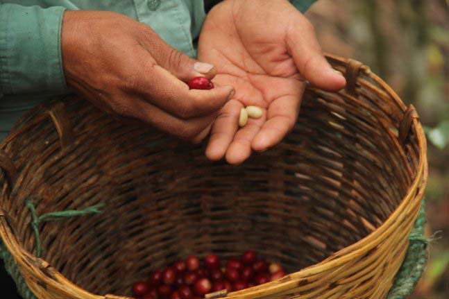 To guarantee best possible quality, the coffee cherry must be hand-picked just as the fruit has turned crimson red on the tree.