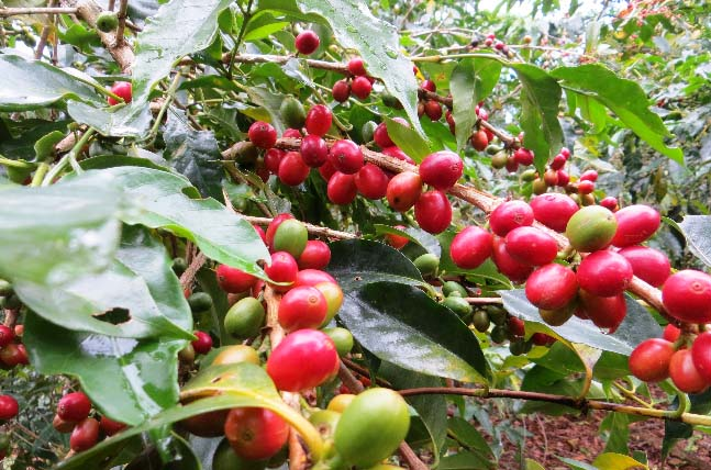 Young trees and good organic practices result in branches such as these, packed with coffee cherries for Mejillones farmers.