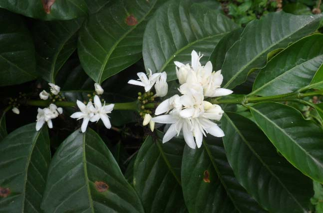Outside the town of Coyona, coffee is flowering in preparation for a new harvest cycle.
