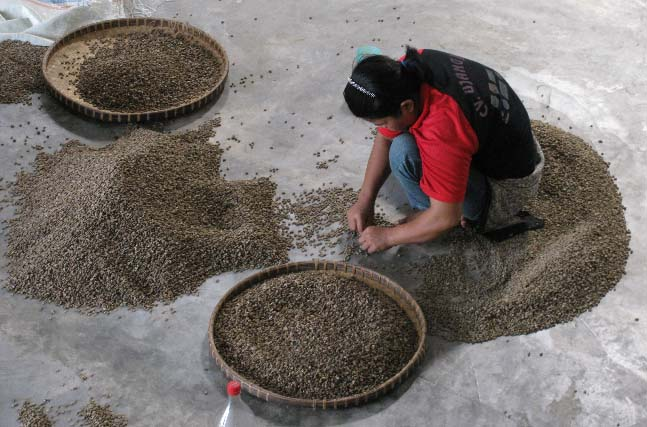 The final sort is still done by hand, pulling off-color and defective beans out of the mix before final export.