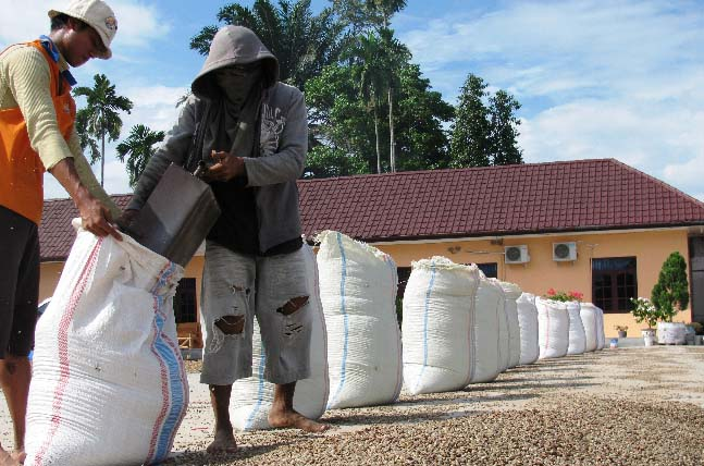 Due to the excessive humidity, much of the asalan, or wet parchment, is move to drying patios in the drier regions of Medan.