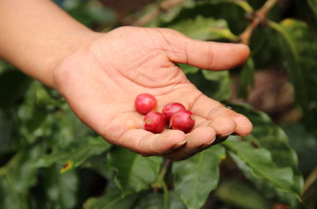 Selecting only the ripest cherries results in the consistent and high quality coffee in the cup - which has become a standard for PROCOCER producers.