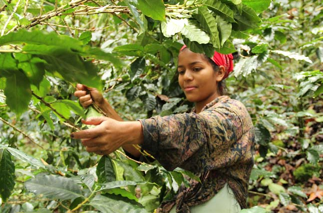 PROCOCER has a productive capacity of some 30,000 quintales of green coffee, all of which is hand-picked and processed by their members.