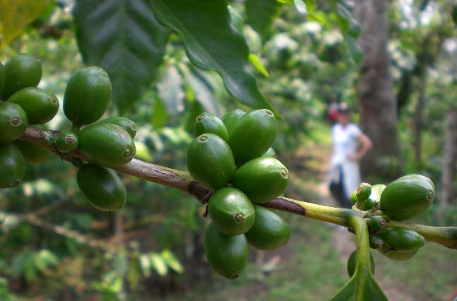 Green cherries on the tree are the hopeful sign that an abundant crop is on the horizon; some 10 million small-scale farmers depend on coffee as their primary source of income.