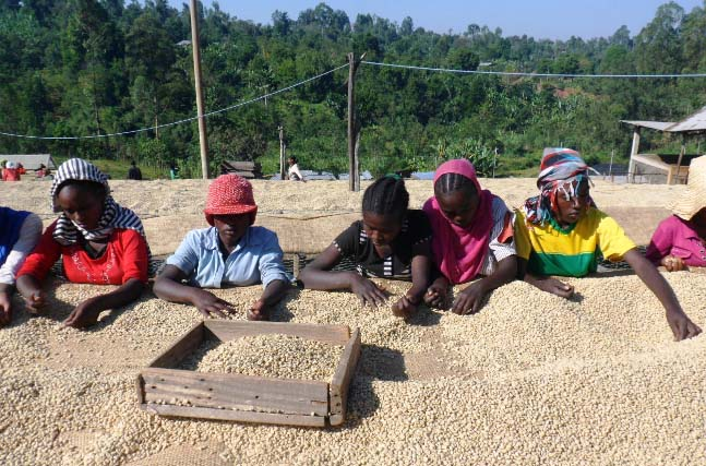 Fero Coop members in Sidama Coffee Union undertake the labour-intensive work of hand-sorting and sun-drying their coffee, in order to assure best possible quality.