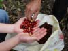 Only the ripest of red cherries are brought in for collective wet processing at  Rio Azul.