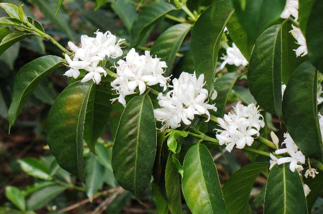 The coffee production cycle begins as a flower. This delicate bud requires adequate sunshine and just enough rain to develop into the coffee cherry.