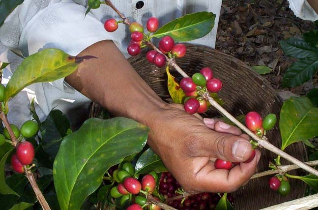 For best quality, the farmer must pick only the ruby red fruit, taking care not to damage the branch and thereby next year's harvest yields. This is necessarily hand-labour intensive process.